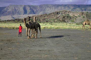 A maassai with an unfamiliar camel in the Rift Valley - the camels are being imported from Somalia, and it is hoped they can replace donkeys for goods transfer and to take tourists on safaris. (Photo: Tom Pfeiffer)