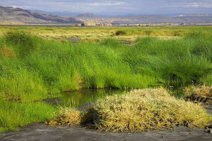 Small streams of fresh water feed Lake Natron at the lowest part of the Rift Valley. Dense green grass grows around them. (Photo: Tom Pfeiffer)