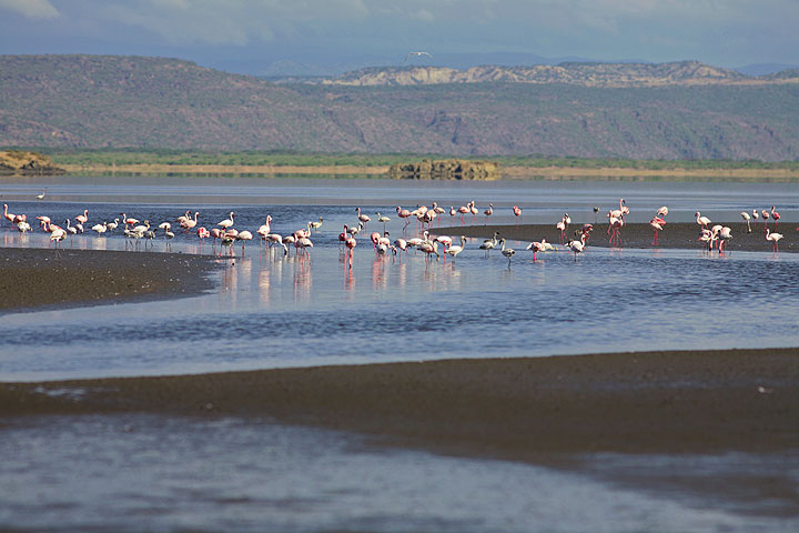 Flamingoes feeding in the shallow waters of Lake Natron. (Photo: Tom Pfeiffer)