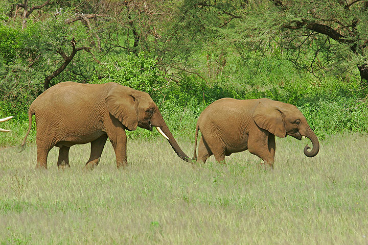 Lake Manyara Natl Park: game drive (Photo: Tom Pfeiffer)