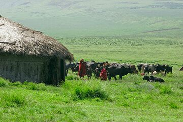 Maassai huts and cattle in the Ngorongoro Highlands (Photo: Tom Pfeiffer)