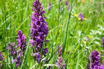 Purple orchids - baltic fingernail orchids abound in the meadows of Armenia at around 1500-2000 m elevation. (Photo: Tom Pfeiffer)