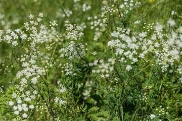 White flowers (Photo: Tom Pfeiffer)