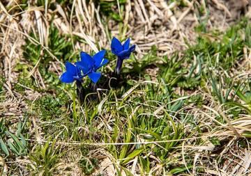 Blue alpine gentia flowers at 3400 m altitude. Clusius gentian, gentiana clusii. (Photo: Tom Pfeiffer)