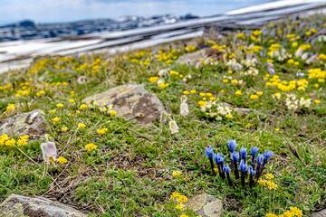 Pretty groups of alpine blue gentia among yellow and white flowers. (Photo: Tom Pfeiffer)