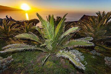 Plam tree at the mirrador de la Pena on El Hierro island. (Photo: Tobias Schorr)