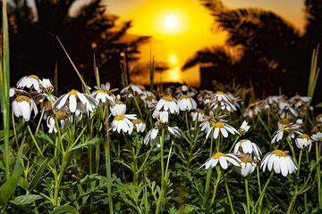 Spring flowers at the mirrador de la Pena on El Hierro island. (Photo: Tobias Schorr)