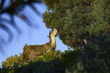 A goat on El Hierro island. (Photo: Tobias Schorr)