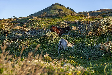 Goats at the area of the mirrador de la Pena on El Hierro island in spring. (Photo: Tobias Schorr)