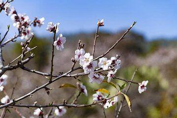 Almond flowers on El Hierro. (Photo: Tobias Schorr)