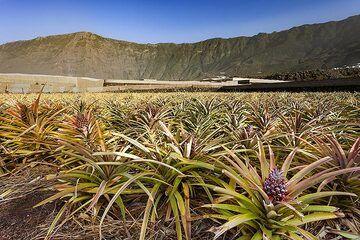 Ananas plantations near Frontera on El Hierro island. (Photo: Tobias Schorr)