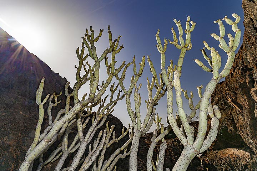 Endemic plant in a lava cave at La Restinga on El Hierro island. (Photo: Tobias Schorr)