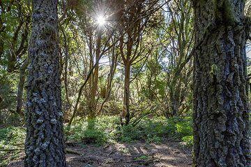 Forest on El Hierro island. (Photo: Tobias Schorr)