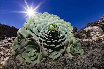 A typical water containing plant on the lava field of Tanganasoga volcano on El Hierro island. (Photo: Tobias Schorr)