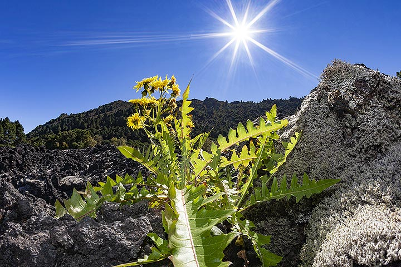 Flower on a lavafield on El Hierro island. (Photo: Tobias Schorr)