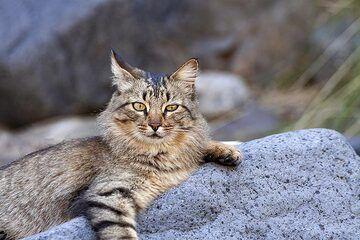 Wild cat in the caldera Tambureinte on La Palma island. (Photo: Tobias Schorr)
