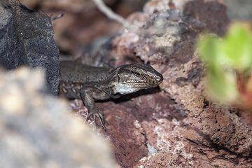 The typical lizard of La Palma island. (Photo: Tobias Schorr)