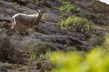 Sheep at the cinder cones of caldera Blanca on Lanzarote. (Photo: Tobias Schorr)