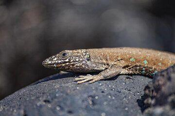 The lizard of Lanzarote. (Photo: Tobias Schorr)