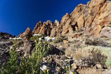 Flowers in the oldest part of Teide caldera. Tenerife island. (Photo: Tobias Schorr)