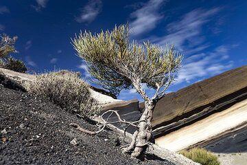 Little bush at the Mirador de la Tarta ash layers. Tenerife island. (Photo: Tobias Schorr)