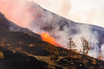 As the eruption occurred near an older eruptive center with loose forest of pine trees, some of these still stand in the thick new ash deposit. (Photo: Tom Pfeiffer)