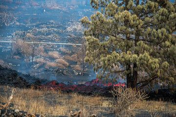 The lava flow cut another significant portion of the upper road, and passes directly under a pine tree, which is still having green needles despite the intense heat it is subject to. (Photo: Tom Pfeiffer)