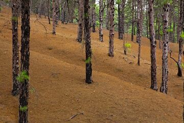 The large pine forest. (Photo: Tom Pfeiffer)