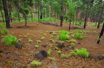 Young pine tree babies starting to grow. (Photo: Tom Pfeiffer)