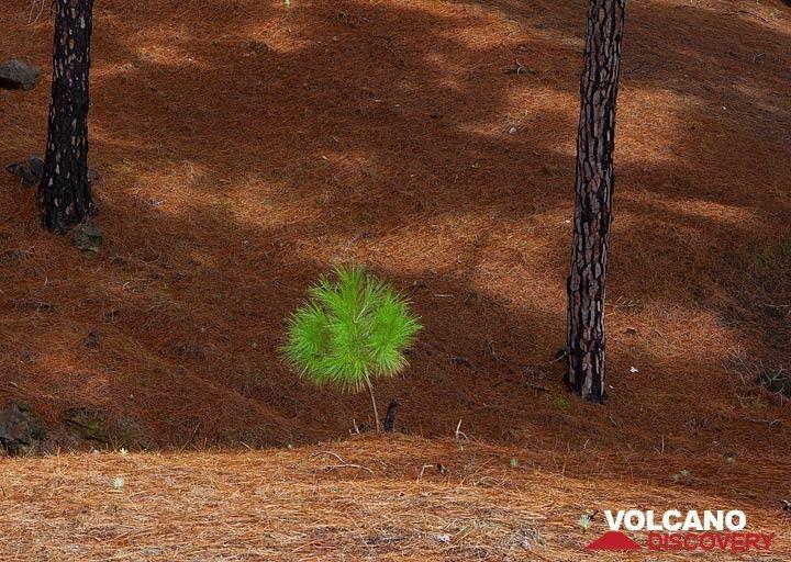 Baby pine hoping to grow (Photo: Tom Pfeiffer)