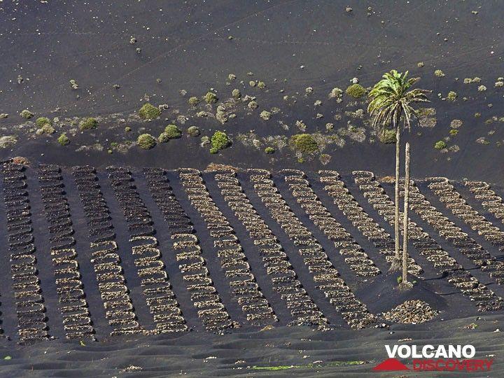 Field at La Geria (Photo: Tobias Schorr)