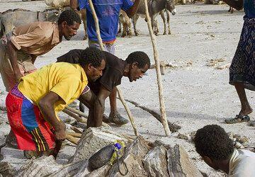 Focolo bei der Arbeit. Pro Kamel zahlt der Arho (Karavanenführer) der Gruppe von 3 ihm zugewiesenen Focolo 10 Bir. (Photo: Tom Pfeiffer)