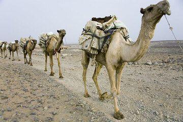Loaded salt caravan leaving Ahmed Ela. (Photo: Tom Pfeiffer)