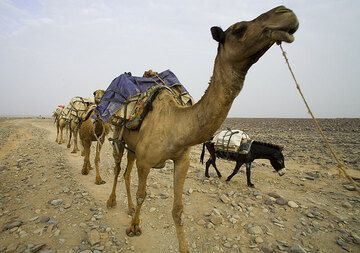 Camels and a donkey. (Photo: Tom Pfeiffer)