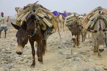 Since most caravans only need to go to Berahile, making the journey half as long, donkeys have started to replace camels. A donkey counts half a camel, but is much cheaper. (Photo: Tom Pfeiffer)