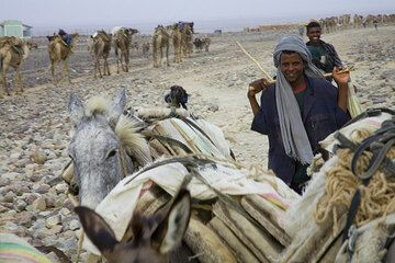 Happy with the day's work, young arho leave towards Mekele, while other empty caravans are arriving in Ahmed Ela, to conclude and repeat the cycle, just as it has been for centuries. (Photo: Tom Pfeiffer)