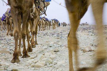 Camels leaving Ahmed Ela. (Photo: Tom Pfeiffer)