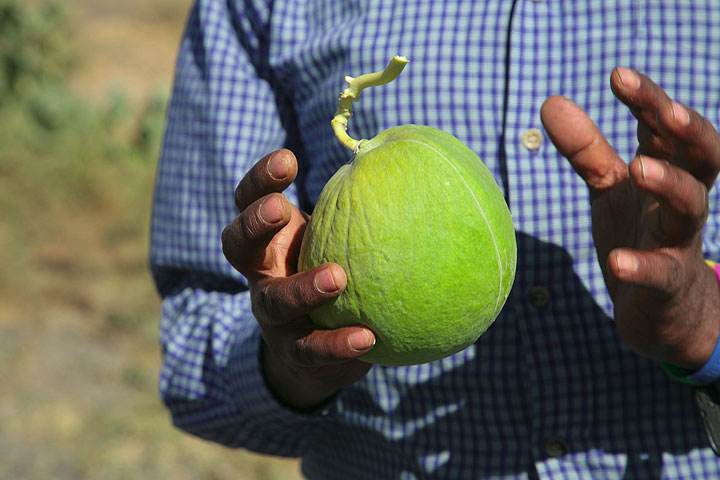 This looks like a solid fruit, but it's mostly... (Photo: Tom Pfeiffer)