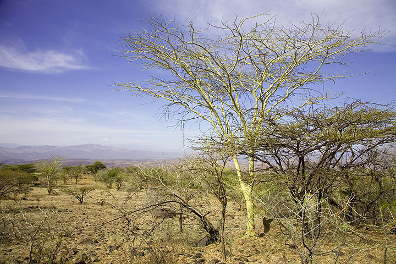 On our way down, we pass through loose acacia tree savannah. (Photo: Tom Pfeiffer)