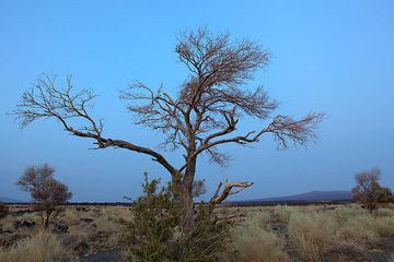 Few trees grow in the desolated steppe landscape at the feet of Erta Ale volcano in the right background. The sky is blue in the evening twilight. (Photo: Tom Pfeiffer)
