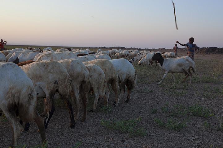 Boy herding sheep in the Danakil desert (Photo: Tom Pfeiffer)