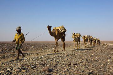 A camel caravan returns from the salt plain, loaded with precious blocks of salt. Ahead lies a gruelling march to the highlands more than 2000 m higher, where the salt is being sold. (Photo: Tom Pfeiffer)
