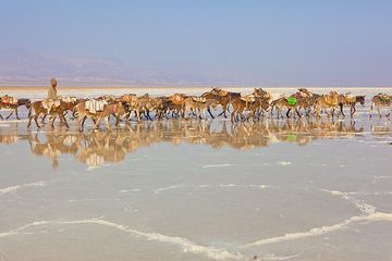 Recently, donkeys are increasingly replacing the traditional camels in the salt trade of the Danakil. A donkey caravan travels over the salt lake to soon reach the working area where they will be loaded with salt blocks and later return, taking on the long journey back into the highlands, where the salt will be sold. (Photo: Tom Pfeiffer)