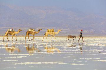 Camel caravan walking over the salt lake towards the mining area. (Photo: Tom Pfeiffer)