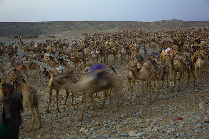Camel caravans are leaving towards the salt lake one by one, in strict order. (Photo: Tom Pfeiffer)