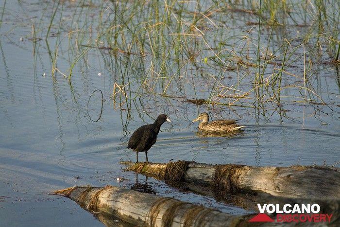 Birds at the Laacher See lake (Photo: Tobias Schorr)