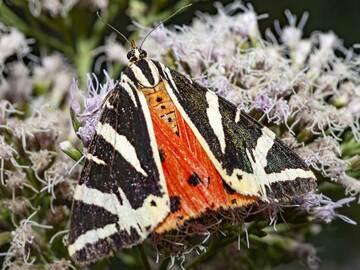 "Rare butterfly ""Russian baer"". (Photo: Tobias Schorr)"
