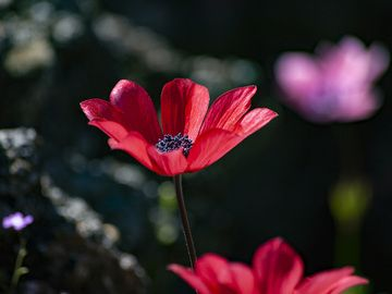 Deep red anemones in the area of the historic volcano of Kameni Chora on Methana. (Photo: Tobias Schorr)