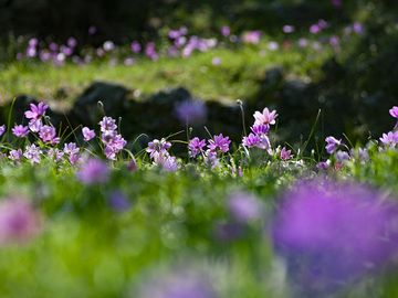 A meadow covered with anemones on Methana. (Photo: Tobias Schorr)