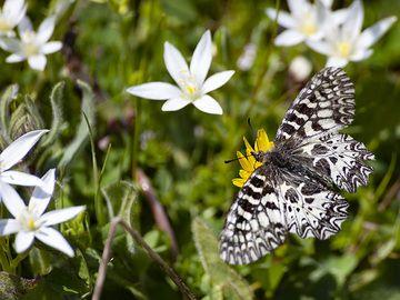 Ornithogalum and an rare butterfly on the Varkesa highplain on Methana. (Photo: Tobias Schorr)